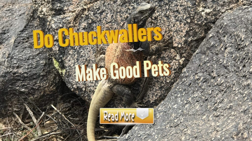 Do chuckwallers make Good pets