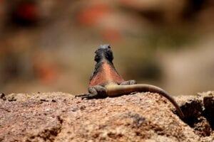lizard-chuckwalla on rocks