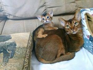 abyssinian-kittens-